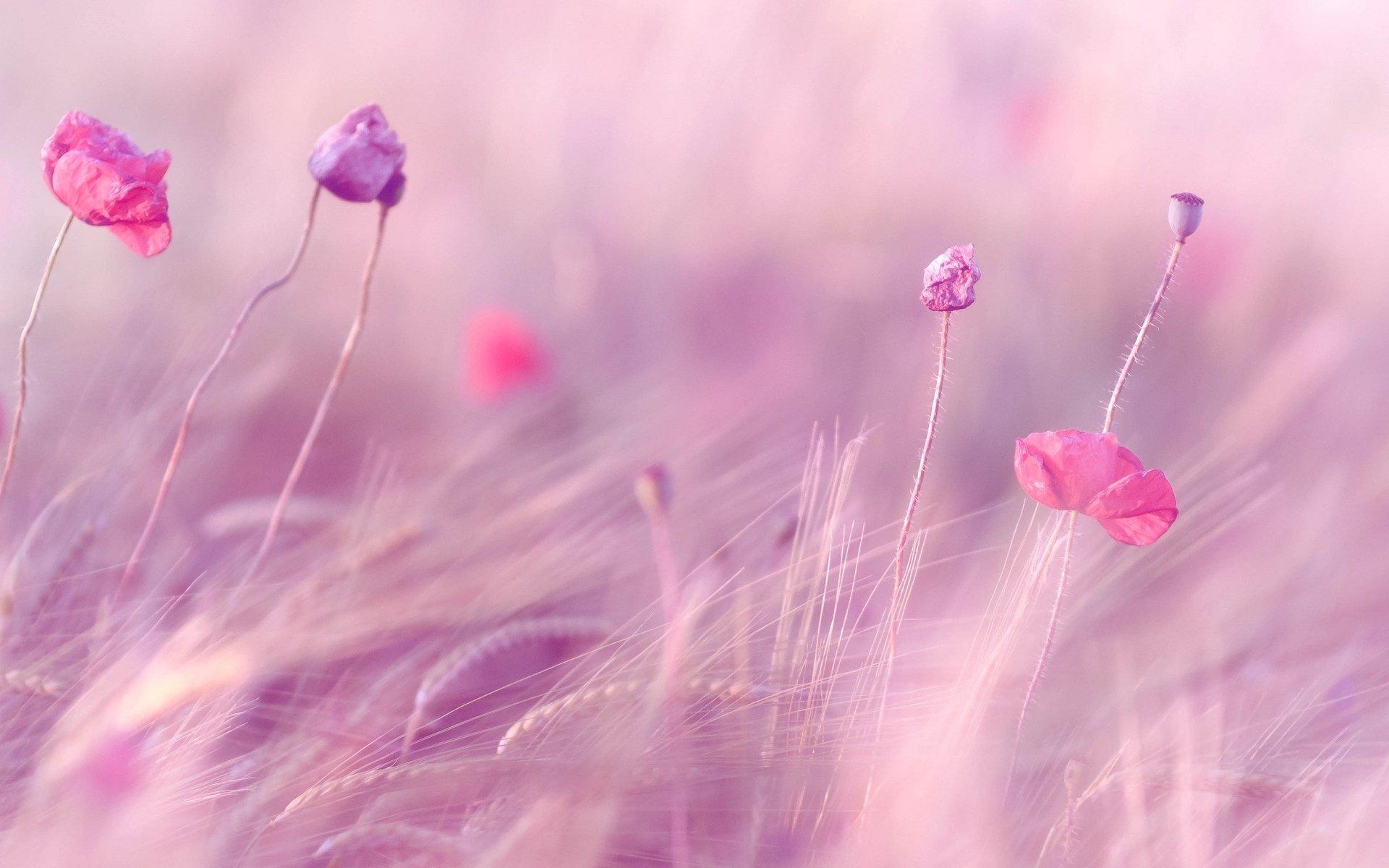 flower flowers pink the field ears wheat rye purple flowers field